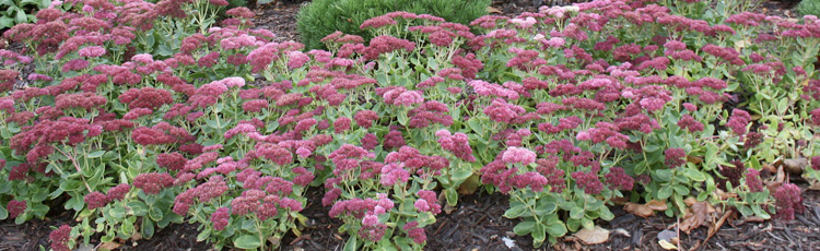 Sedum-with-Crown-Rot-THUMB.jpg