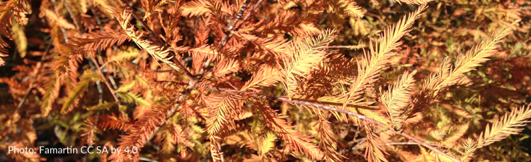 110314_Fall_Color_and_Care_of_Bald_Cypress.jpg