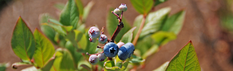 2013_529_MGM_Blueberries_National_Blueberry_Month.jpg
