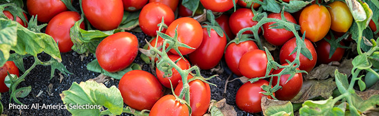 011720_2020_All_America_Selections_Tomato_Winners.jpg