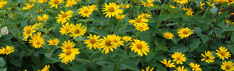 040120_Growing_False_or_Ox_Eye_Sunflower_Heliopsis_helianthoides.jpg