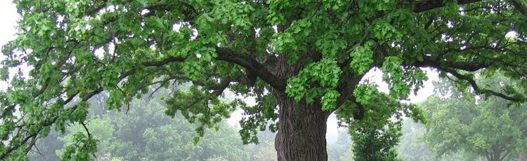 070416_The_US_National_Tree_The_Mighty_Oak.jpg