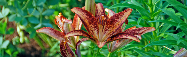 050418_Grow_Hardy_Lilies_for_Fragrant_Blooms_Summer_to_Fall.jpg