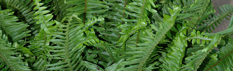 062620_Increase_Your_Success_Growing_Ferns_Indoors.jpg