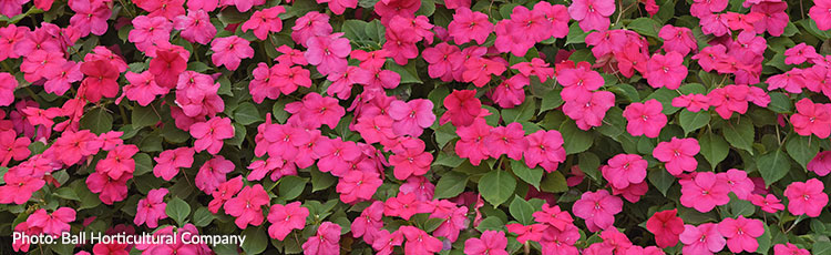 010621_Downy_Mildew_Resistant_Beacon_Impatiens_for_Shade.jpg