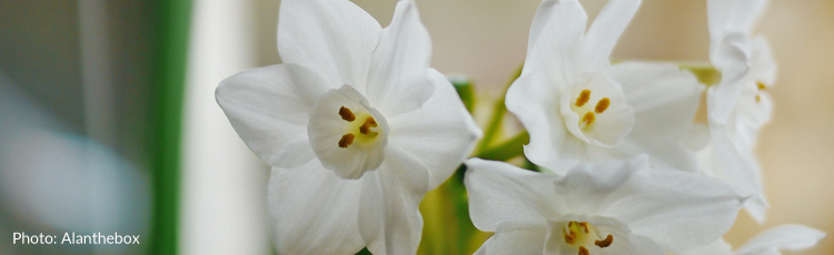 2010_125_MGM_Forcing_Paper_White_Narcissus_into_Bloom.jpg
