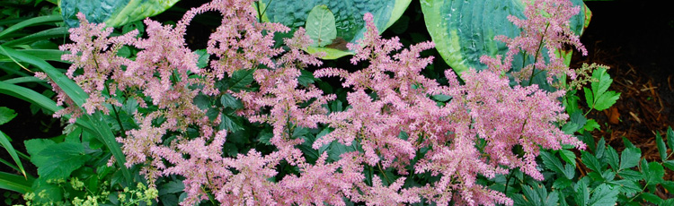 Late-Planting-of-Astilbe-THUMB.jpg