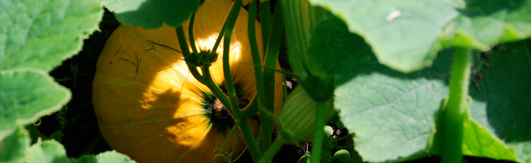 091916_Spots_Stripes_and_Unusual_Squash_Fruit.jpg