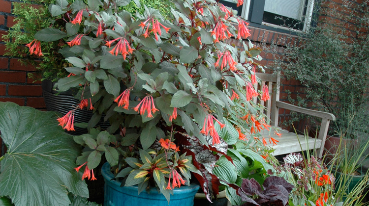 Saving-Potted-Fuchsia-Over-Winter.jpg