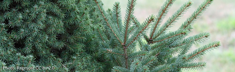 Unusual-Stem-Growth-on-Dwarf-Alberta-Spruce-THUMB.jpg