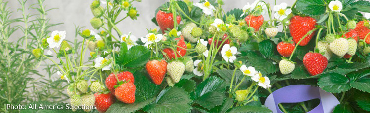 012716_2016_All_America_Selections_Winner_Strawberry_Delizz.jpg