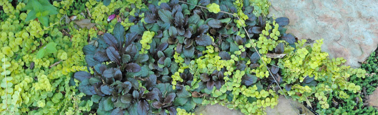 Groundcover-That-Tolerates-Foot-Traffic.jpg
