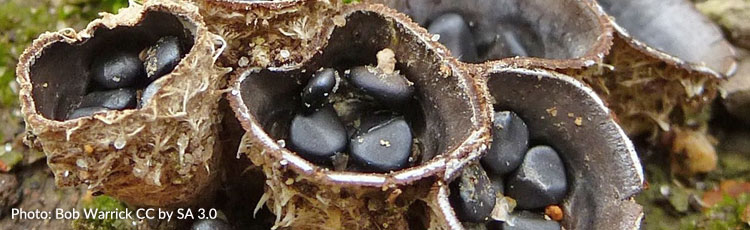 090419_Bird_Nest_Fungus-THUMB.jpg