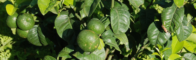 Mites-and-Mealybugs-on-Citrus.jpg