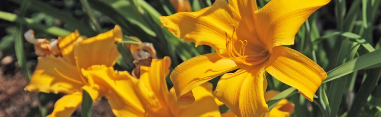 Revive-Non-Blooming-Daylily-THUMB.jpg