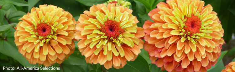 011718_2018_AAS_Flower_Winners_Queeny_Lime_Zinna_and_Super_Hero_Spry_Marigold-THUMB.jpg