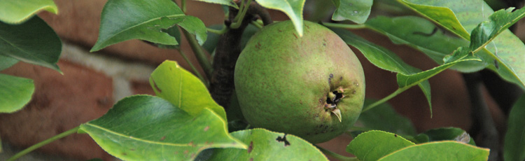 When-to-Harvest-Pear-and-Apple-Trees.jpg