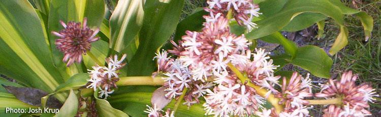 Blooming Corn Plant Melinda Myers
