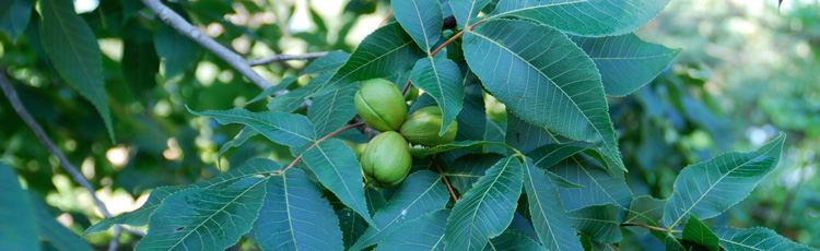 092519_Harvesting_and_Storing_Hickory_and_Black_Walnuts.jpg
