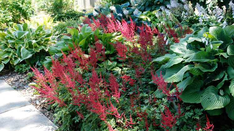 Astilbe-Leaves-Turning-Brown.jpg