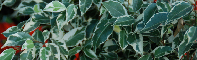 White-Fuzzy-Substance-on-Ficus-Leaves.jpg