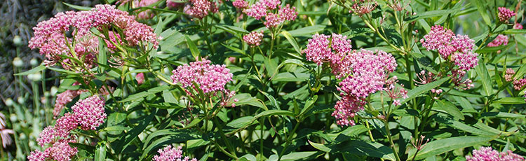 071520_Growing_Swamp_Milkweed_Asclepias_incarnata-THUMB.jpg