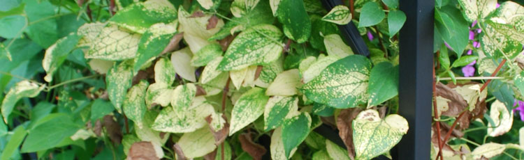 Clematis-Foliage-is-Yellow.jpg