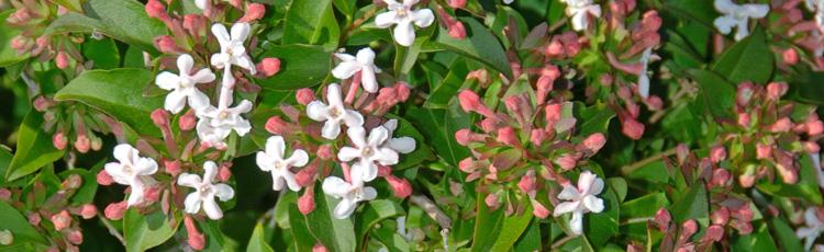 Fragrant Abelia Melinda Myers