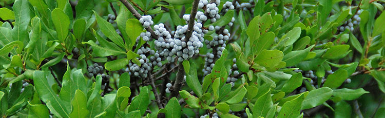 112520_Northern_and_Southern_Bayberry-THUMB.jpg