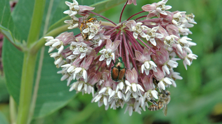 Dealing-with-Japanese-Beetles-without-Pesticides.jpg