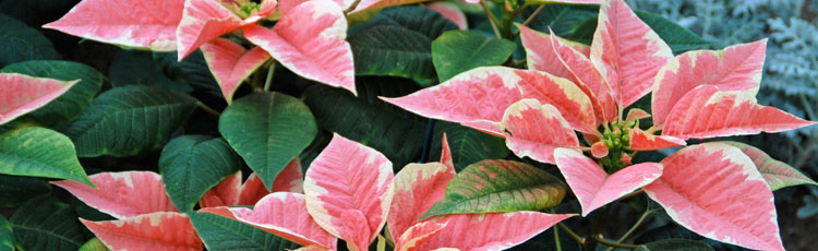 Sick-Looking-Poinsettia.jpg