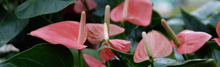 2012_306_MGM_Anthuriums_for_Valentines_Day_and_Indoor_Gardens.jpg