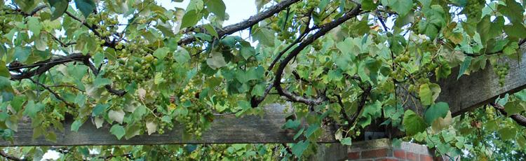 Pruning Grape Vines Melinda Myers