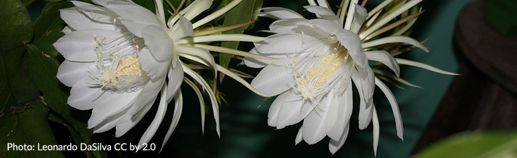 Starting-Night-Blooming-Cereus-from-Cuttings.jpg