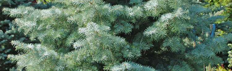 121018_Concolor_Fir_in_the_Garden_or_Christmas_Tree_Stand-THUMB.jpg