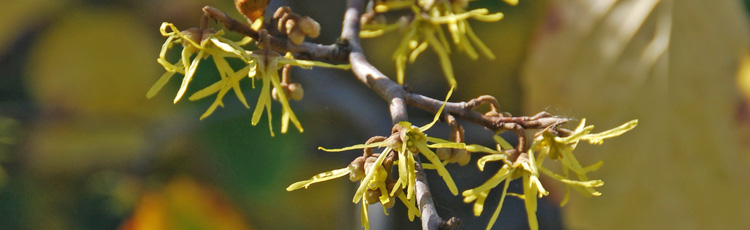 2012_420_MGM_A_Fall_Beauty_Witchhazel.jpg