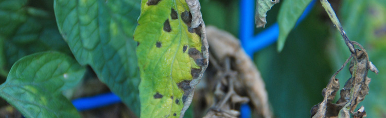082317_Septoria_Leaf_Spot_on_Tomatoes-THUMB.jpg