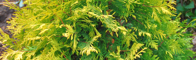 051616_Colorful_Arborvitae.jpg