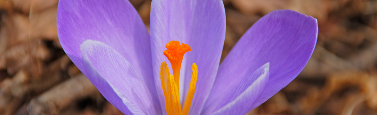 What-to-Do-with-Potted-Crocus-After-Flowering-THUMB.jpg