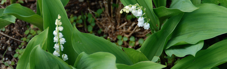 Keep-Lily-of-the-Valley-Growing.jpg