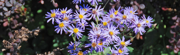 091218_Sky_Blue_Aster_for_the_Fall_Garden_and_Butterflies-THUMB.jpg