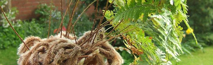 Rabbit Foot Fern (Davallia) Houseplant :: Melinda Myers on rabbit foot fern, goose foot house plant, elephant foot house plant, rabbit foot green,