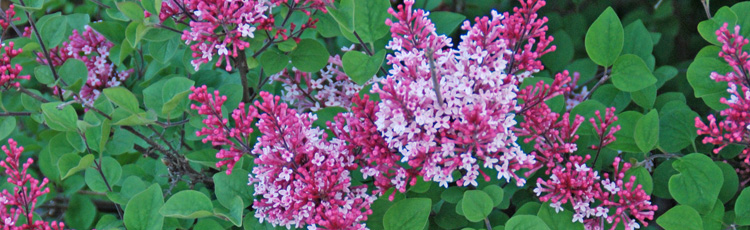No-Flowers-on-Lilac-THUMB.jpg