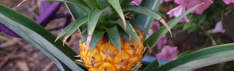 Growing-Pineapple-THUMB.jpg