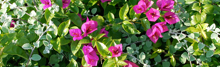 2013_513_MGM_Nudge_Your_Bougainvillea_Into_Bloom.jpg