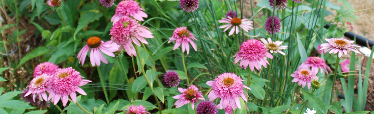 2012_396_MGM_A_New_Look_for_Coneflowers.jpg