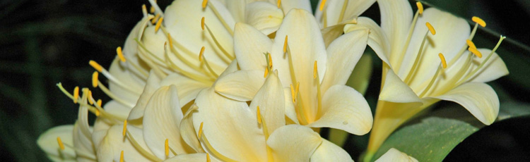Growing-Clivia-and-Getting-It-to-Flower-THUMB.jpg