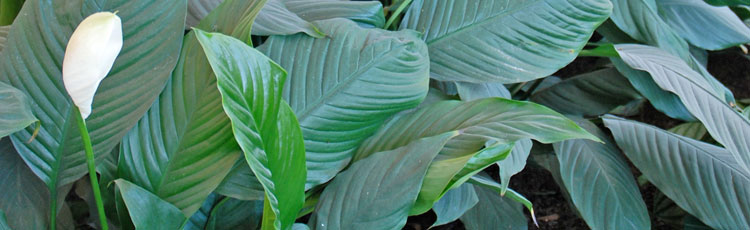 Leaves-of-Peace-Lily-Have-Brown-Edges.jpg