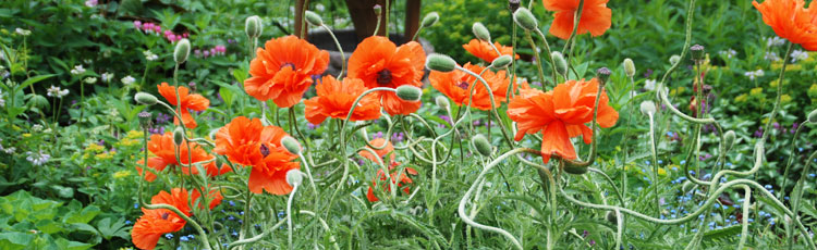 Growing-Oriental-Poppy.jpg