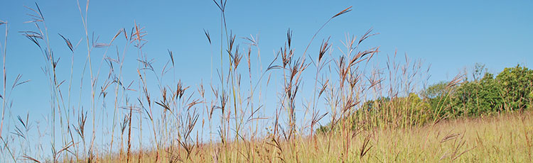 110419_Big_Bluestem_Andropogon_gerardii-THUMB.jpg